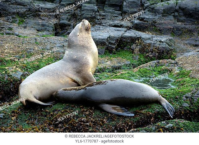 A southern sea lion Otaria flavescens nurses her pup on a small island in the Beagle Channel, Tierra del Fuego, Argentina