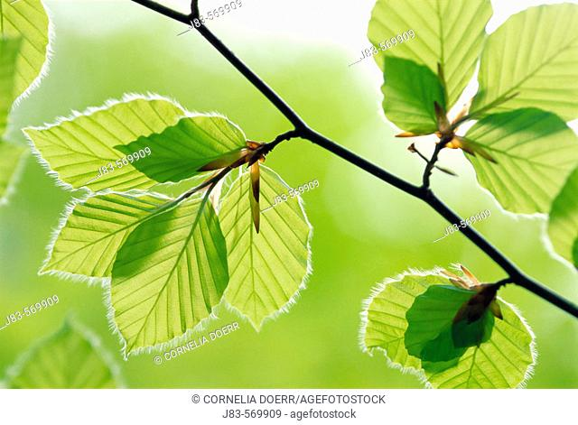 Leaves beech tree in spring. Germany
