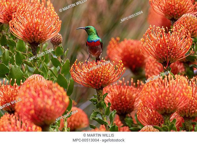 Southern Double-collared Sunbird (Cinnyris chalybeus) male feeding on the nectar of Rocket Pincushion (Leucospermum reflexum) flower, Kirstenbosch Garden