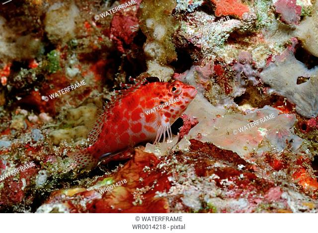 Pixy Hawkfish, Cirrhitichthys oxycephalus, Indian Ocean, Maldives Island