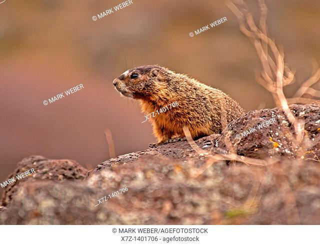 Snake River Canyon, Yellow Bellied Marmot at Box Canyon State Park near the city of Buhl in southern Idaho
