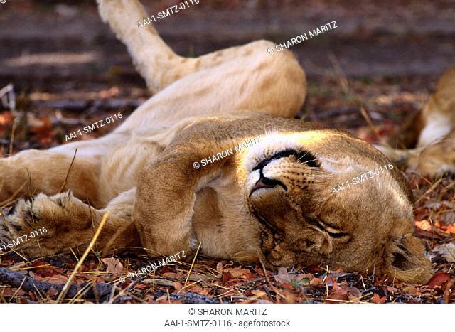 Lioness, Moremi Game Reserve, Botswana