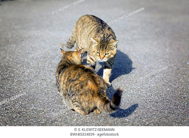 domestic cat, house cat (Felis silvestris f. catus), two cats meeting on the street, Germany