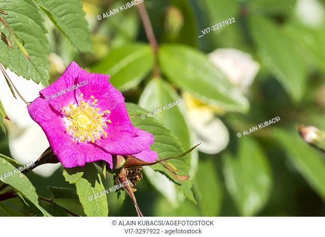 Rosa amblyotis 1847