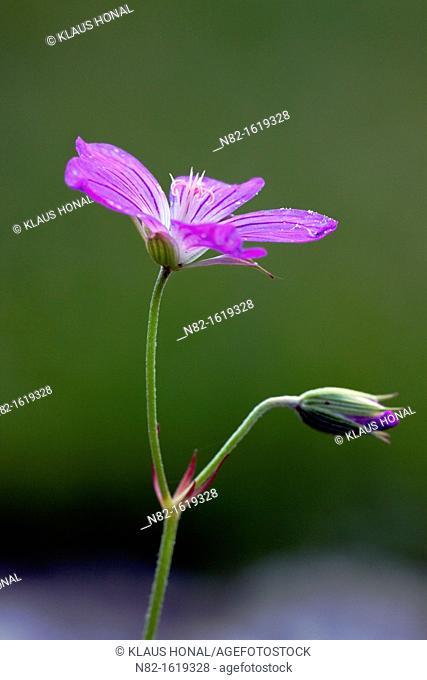 Marsh cranesbill Geranium palustre blossoms from June to September in wet meadows - Bavaria/Germany