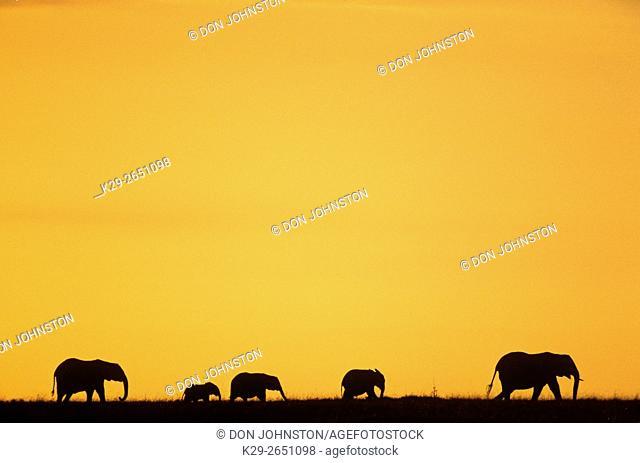 African elephant (Loxodonta africana) Silhouetted at sunrise, Masai Mara National Park, Kenya