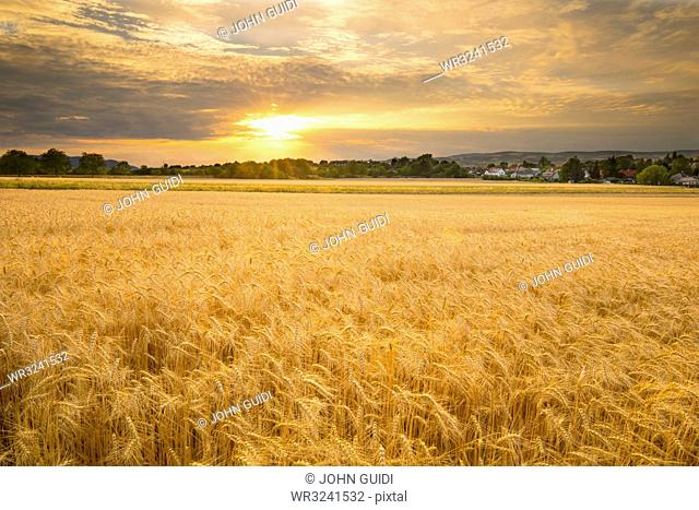 Sunset over a barley field, Austria, Europe