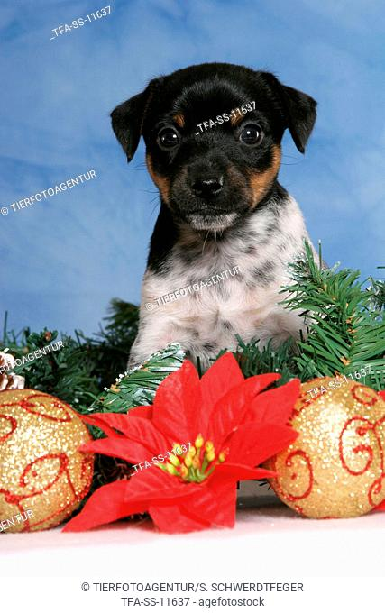 Jack Russell Terrier puppy at christmas time