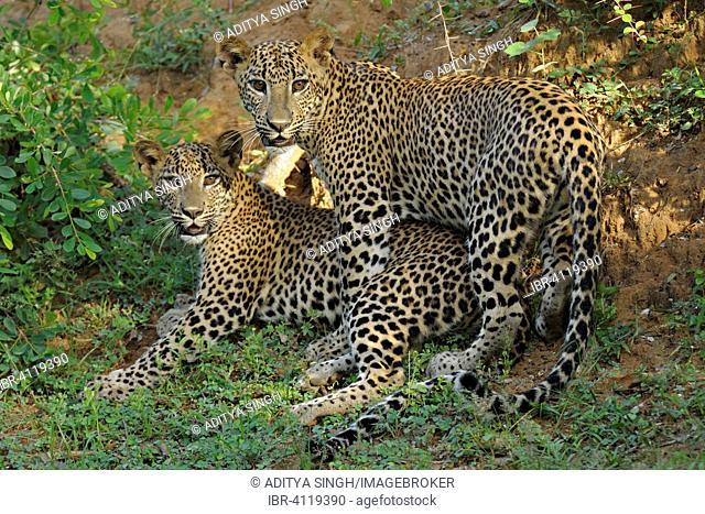 Two Sri Lankan Leopards (Panthera pardus kotiya), Yala National Park, Sri Lanka