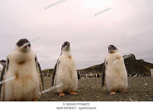 Antarctica, South Shetlands Islands, Aitcho Island, Gentoo Penguins