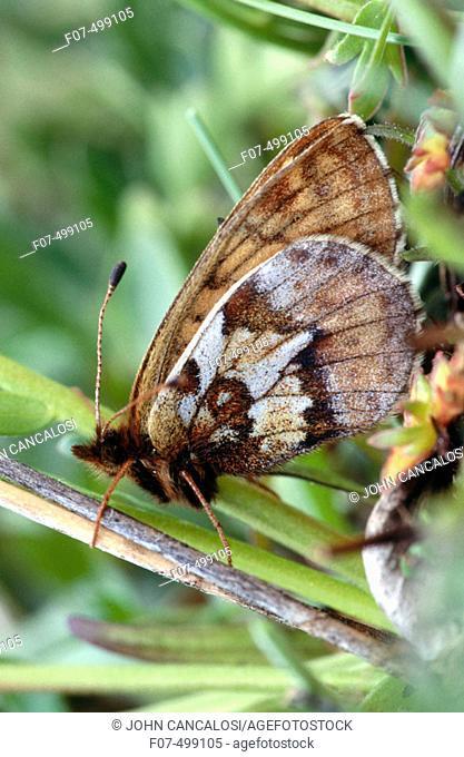 Uncompahgre Fritillary (Boloria acrocnema). Colorado, USA
