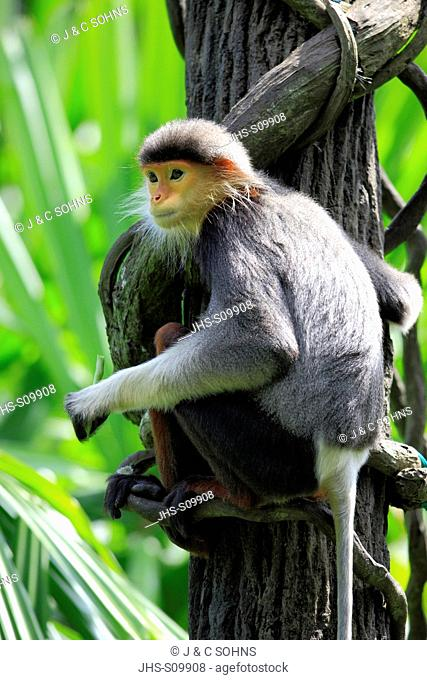 Douc Langur,Pygathrix nemaeus,Asia,adult on tree