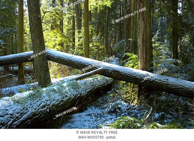 Snowy trees of old growth forest in Cathedral Grove, MacMillan Provincial Park, near Port Alberni, Vancouver Island, BC