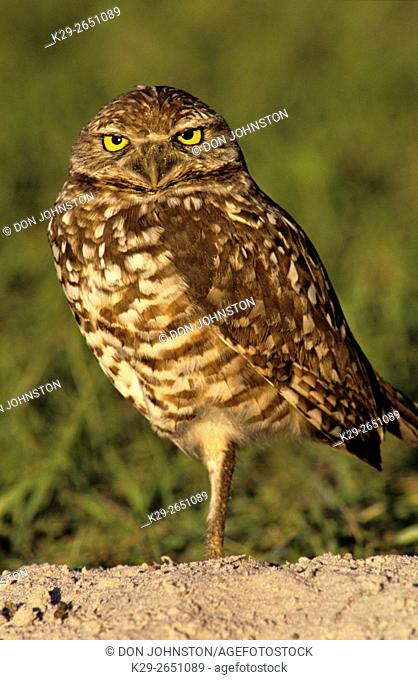Burrowing owl (Athene cunicularia) Adult vigilant near burrow, Cape Coral, Florida, USA