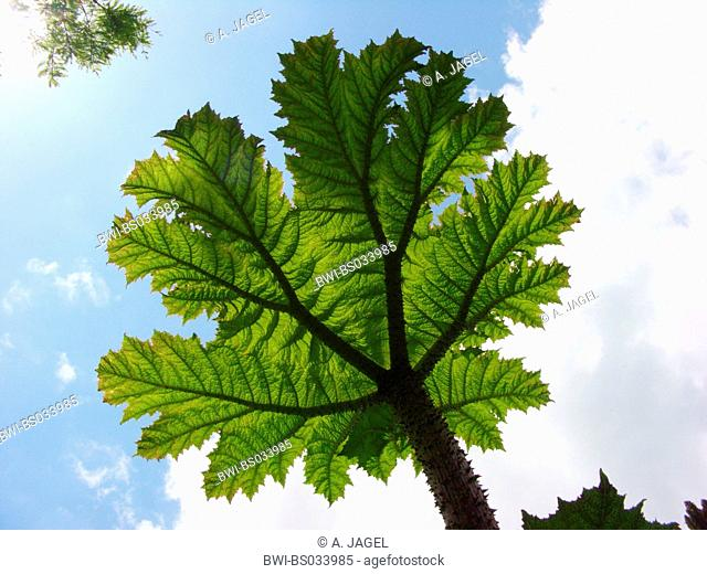 giant gunnera (Gunnera manicata), leaf against blue sky