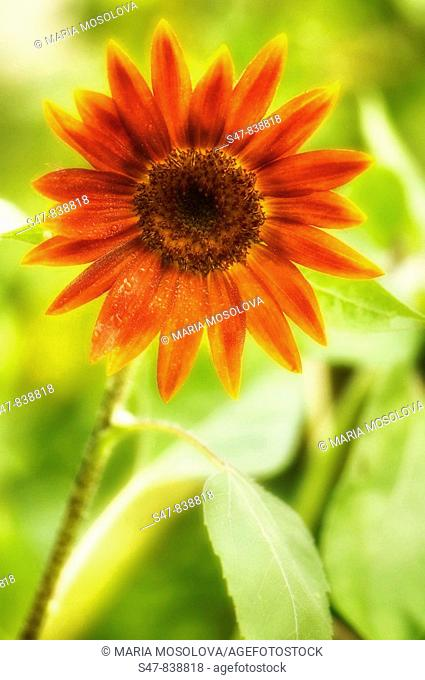 Red Sunflower Close-up. Helianthus annuus
