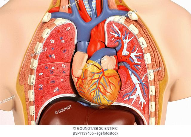 Model of the intern anatomy of the chest of an adult human body, face on. At the thoracic level, the intern structure of the heart and the lungs is depicted