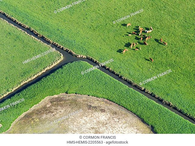 France, Calvados, Bieville Quetieville, cows in the marsh of the Dives (aerial view)