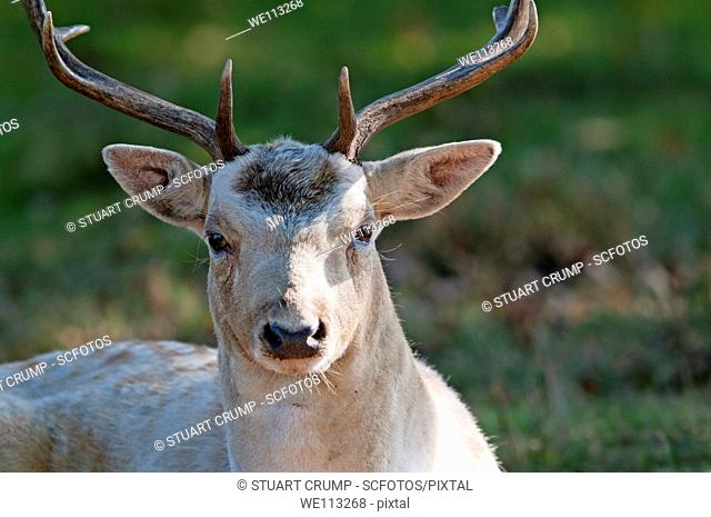 Male Fallow Deer buck in parkland, England, UK
