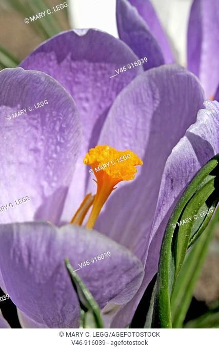 Open lavender crocus greets the spring sun against drab background  The early spring garden wakens with color of bright purple