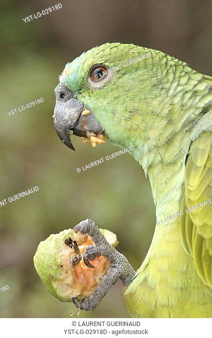 Animal, Parrot, Pantanal, Mato Grosso do Sul, Brazil
