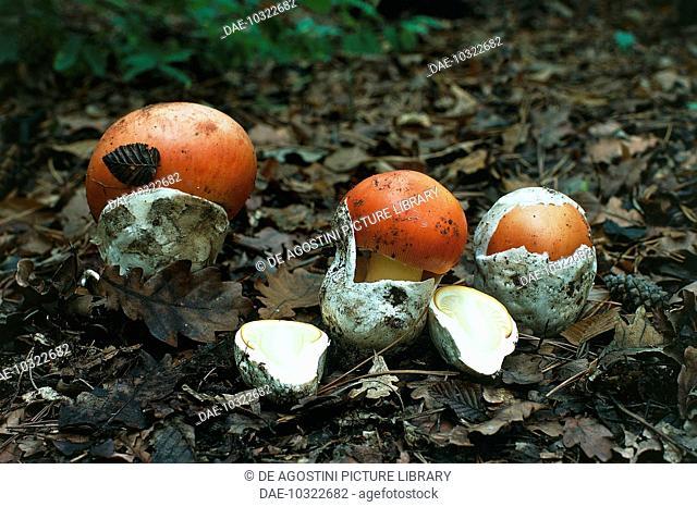Caesar's mushroom (Amanita caesarea), Amanitaceae