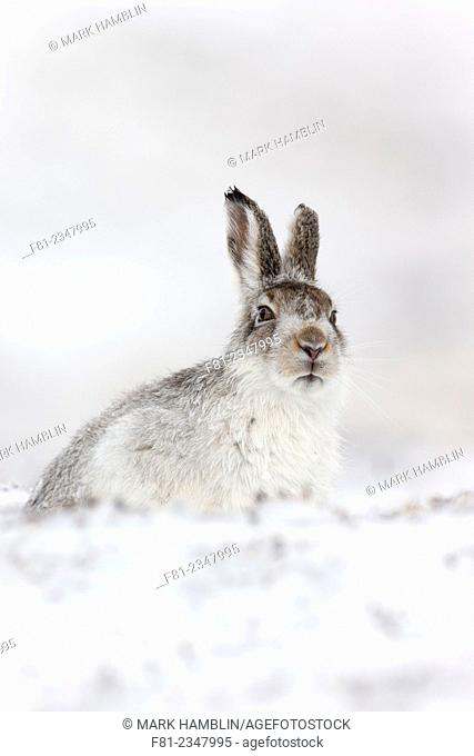 Mountain Hare (Lepus timidus) adult in winter coat sitting in snow