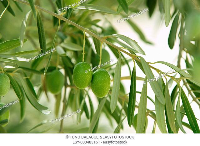 Olive tree with green fruits in Southern Spain Andalucia