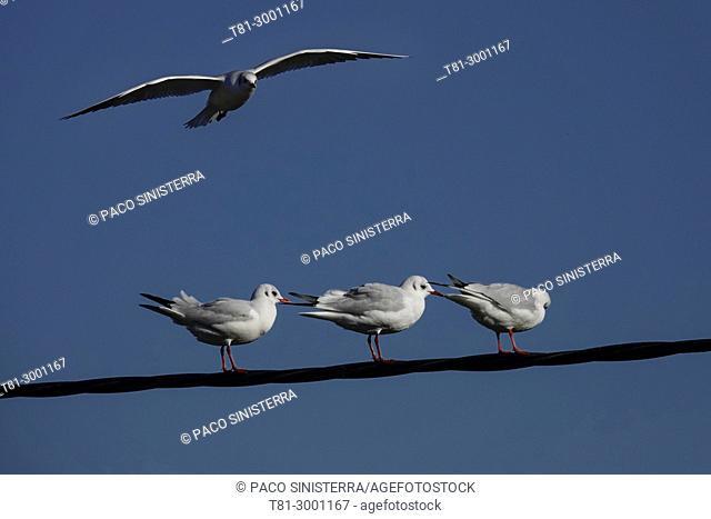seagulls, Valencia