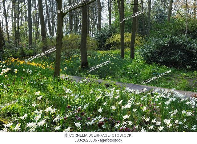 Springtime flowers im Woodland, Daffodils, Keukenhof Gardens, Lisse, Holland, Netherlands