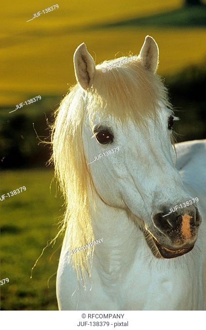 welsh pony - portrait