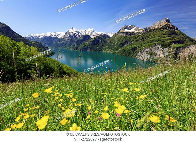 Ranunculus grass field above vierwaldstättersee lake, Tannen, Morschach, Schwyz, Switzerland