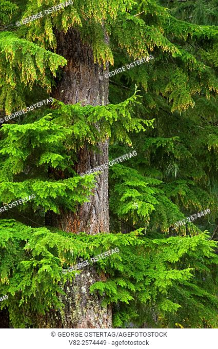 Douglas fir with western hemlock by Clear Lake, McKenzie Pass-Santiam Pass National Scenic Byway, Willamette National Forest, Oregon
