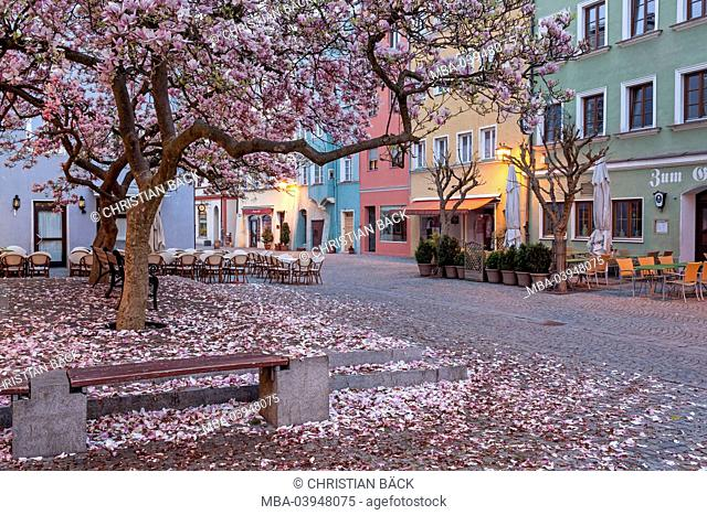 Magnolia in the Old Town, Wasserburg at the Inn, Upper Bavaria, Bavaria, Germany