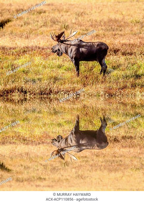 Moose (Alces alces) Bull moose, In its natural habitat, looking for food. Scenic photo. Kananaskis Provincial Park, Alberta, Canada