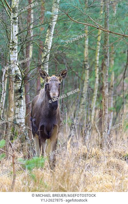 Moose, Alces alces, Europe