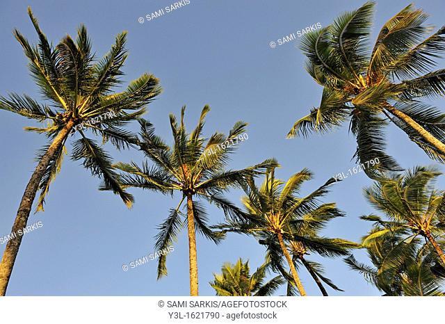 Palm trees at sunrise, Big Island, Hawaii Islands, USA
