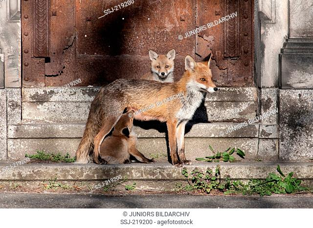 Red Fox (Vulpes vulpes). Mother nursing kits on a staircase. Germany