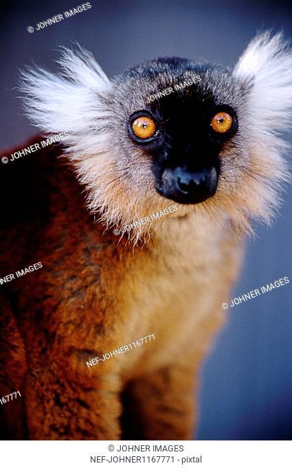 Portrait of black lemur (Eulemur macaco)