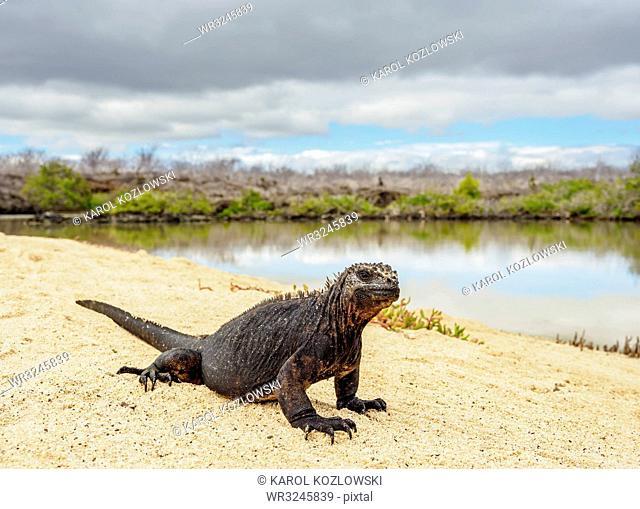 Marine iguana (Amblyrhynchus cristatus) next to lagoon by Bachas Beach, Santa Cruz (Indefatigable) Island, Galapagos, UNESCO World Heritage Site, Ecuador