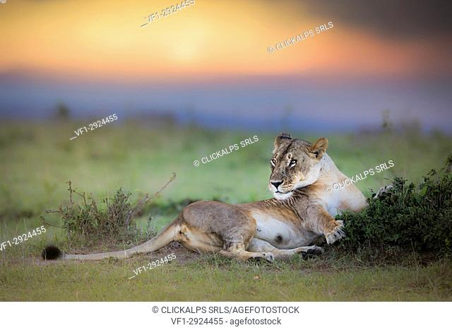 Lioness in the Masaimara at sunset