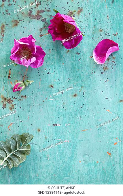 Wild rose blossoms on a turquoise surface