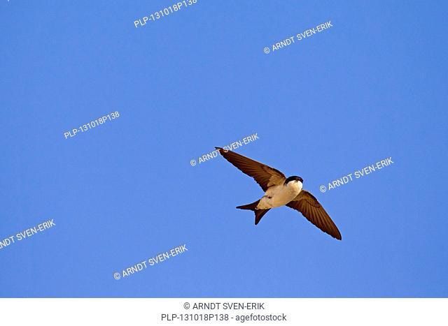 Common House Martin (Delichon urbicum) in flight against blue sky