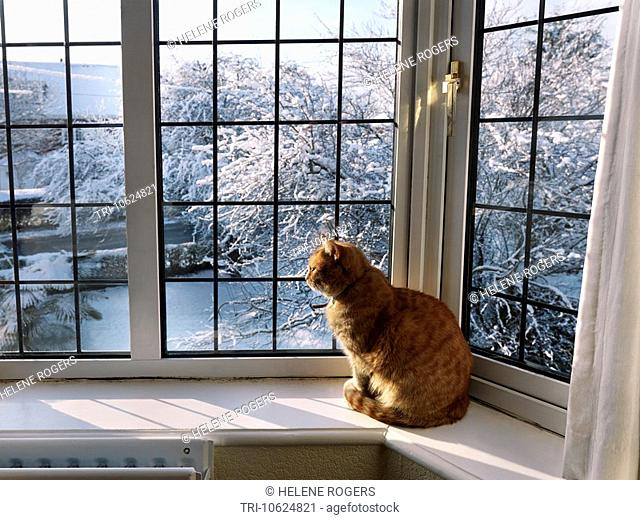 Ginger Cat watching the Snow from an Upstairs Window