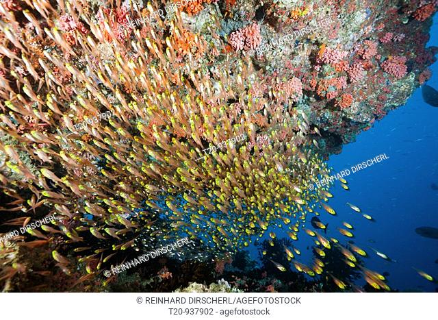 Pygmy Sweeper in Coral Reef, Parapriacanthus, Ellaidhoo House Reef, North Ari Atoll, Maldives