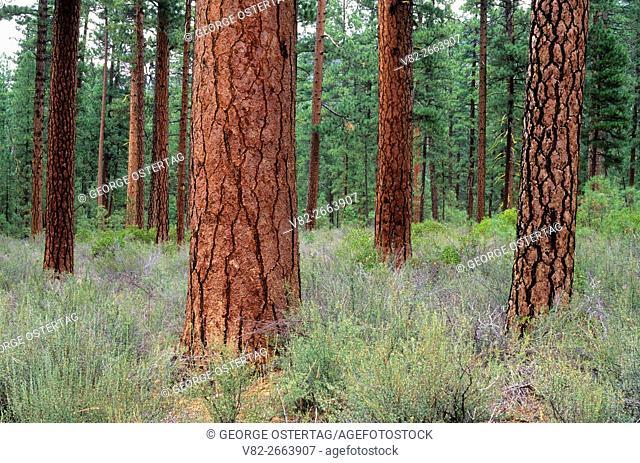"Ponderosa pine (Pinus ponderosa), McKenzie Passâ. ""Santiam Pass National Scenic Byway, Deschutes National Forest, Oregon"