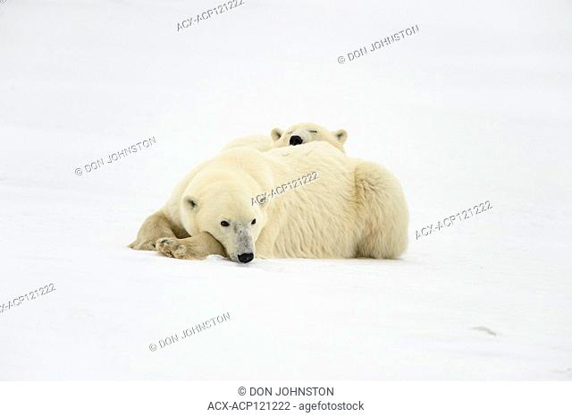 Polar Bear (Ursus maritimus) Mother and yearling cub resting along the Hudson Bay coast