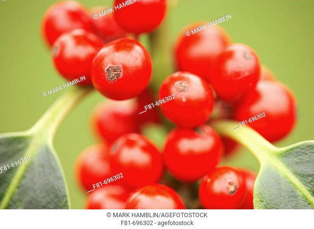 Holly Berries - Ilex aquifolium 'Pyramidalis' - close-up  UK  December 2006