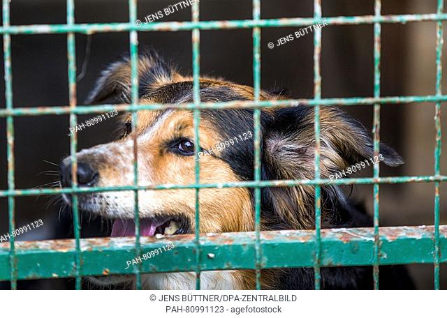 A dog seen in a kennel of an animal shelter in Dorf Mecklenburg,Germany, 03 June 2016. Shelter operators fear that the number of abandoned pets will increase...