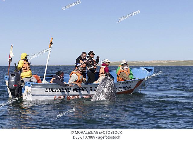 Central America, Mexico, Baja California Sur, Guerrero Negro, Ojo de Liebre Lagoon (formerly known as Scammon's Lagoon), Tourist looking at Gray Whale...